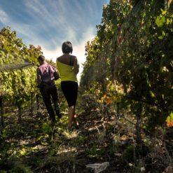 walking throught the vineyards