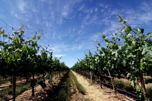 A beautiful vineyard