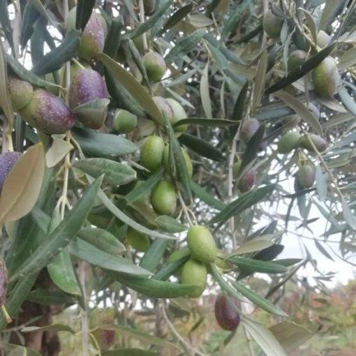 Excursión de aceites de oliva