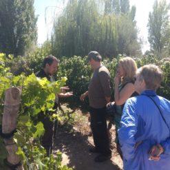 Organic vineyards