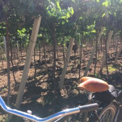 Bike through the vineyards