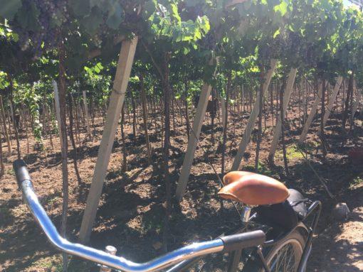 Bike trought the vineyards